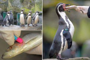 Χορηγούν αντικαταθλιπτικά σε πιγκουίνους!