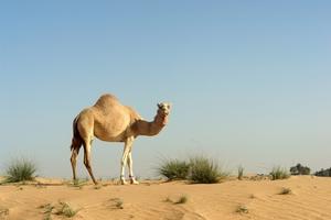 Οι καμήλες και η θέση τους στη Βίβλο