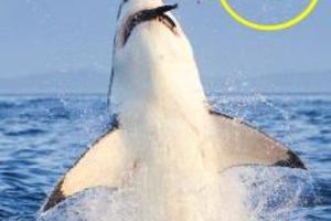 Φώκια έσπασε δόντι καρχαρία