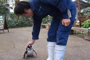 Ο επίμονος πιγκουίνος