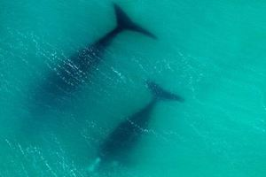 Επιστήμονες θα μετρήσουν τις φάλαινες από το διάστημα