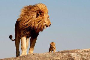 Στειρωμένο λιοντάρι έγινε πατέρας τριών λευκών λιονταριών