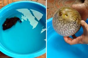 Το ψάρι που απαντά στην απειλή... φουσκώνοντας!