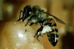 Ηλικιωμένη δέχτηκε επίθεση από μέλισσες δολοφόνους
