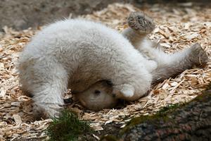 Ατελείωτο παιχνίδι για τα δίδυμα πολικά αρκουδάκια