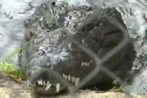 Αλιγάτορας κατά οχήματος με απρόσμενη κατάληξη