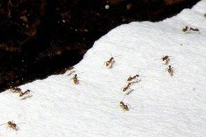 Τα «τρελά μυρμήγκια» που απειλούν το Χιούστον