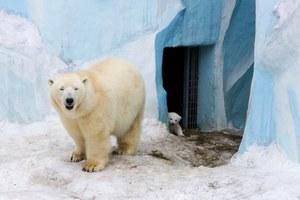 Το... ντεμπούτο της μικρής πολικής αρκούδας