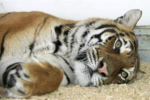 Στη Βρετανία τίγρεις που διασώθηκαν από γερμανικό τσίρκο