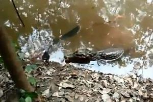 Ο επώδυνος αιφνιδιασμός του αλιγάτορα