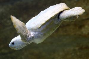 Μαθήματα κολύμβησης για το χελωνάκι αλμπίνο