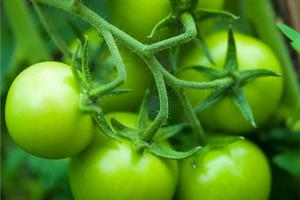 Πράσινες ντομάτες για δυνατούς μυς