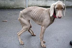 Άφησαν το σκυλί τους να πεινάσει για έξι εβδομάδες!