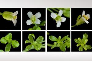 Το βακτήριο που κάνει τα φυτά… ζόμπι