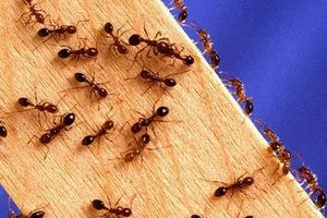 Απαλλαγείτε από τα μυρμήγκια με φυσικό τρόπο