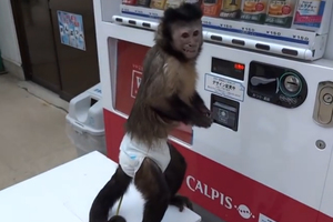 Η μαϊμού που χρησιμοποιεί τον αυτόματο πωλητή