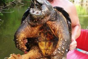 Προϊστορική χελώνα-αλιγάτορας εντοπίστηκε στις ΗΠΑ
