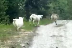 Όταν τα πρόβατα ξεσηκώνονται