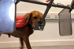 Σκύλοι ανιχνεύουν ασθένειες με τεράστιο ποσοστό ακριβείας