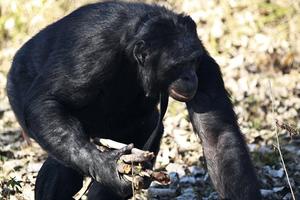 Γνωρίστε τον εξυπνότερο χιμπαντζή του κόσμου