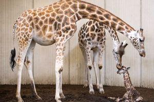 Γεννητούρια σε ζωολογικό κήπο της Ολλανδίας