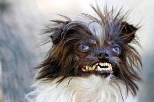 Ο πιο άσχημος σκύλος του κόσμου