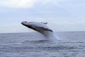 Ανησυχία για τον «Μιγκαλού», τη φάλαινα-αλμπίνο