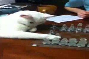 Γάτα... παίζει σκάκι