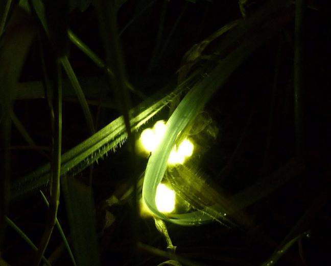 Πυγολαμπίδες για φως