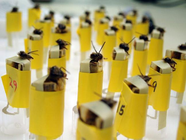Μέλισσες-ανιχνευτές βομβών