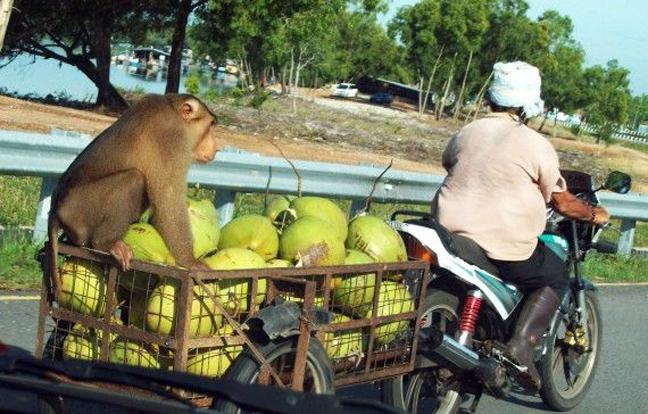 Πίθηκοι-θεριστές