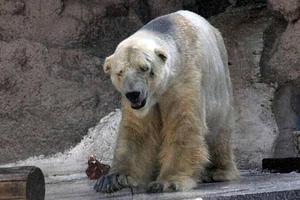 Εξουθενωμένη πολική αρκούδα περιπλανιέται σε πόλη της Σιβηρίας