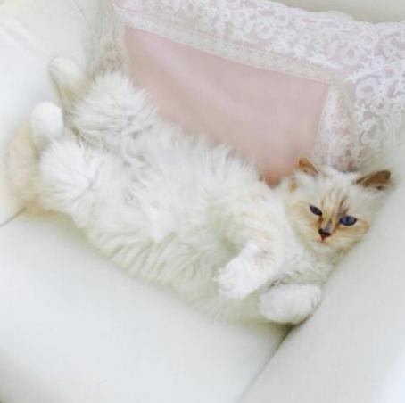 Τοπ μόντελ... η γάτα του Λάγκερφελντ karlcat8