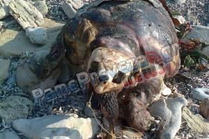 Νεκρή θαλάσσια χελώνα στον Μύτικα Πρέβεζας