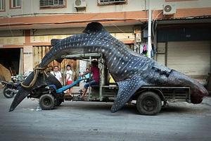 Κινέζος ψάρεψε φαλαινοκαρχαρία-τέρας
