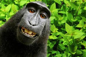 Η μαϊμού έβγαλε selfie και ξέσπασε διαμάχη 17.000 δολαρίων