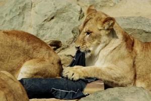 Τα τζιν που φτιάχνονται από δαγκώματα άγριων ζώων