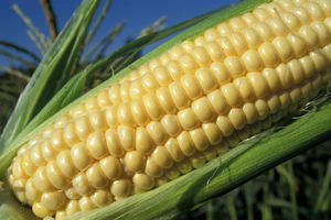 Νομοσχέδιο προβλέπει την απαγόρευση μεταλλαγμένων καλλιεργειών