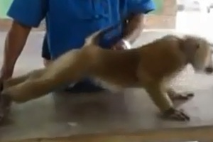 Μια ξεχωριστή μαϊμού!