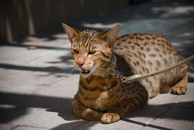 Ακριβότερη γάτα
