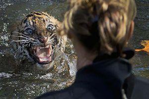 Τίγρης κατασπάραξε εργαζόμενη σε ζωολογικό κήπο