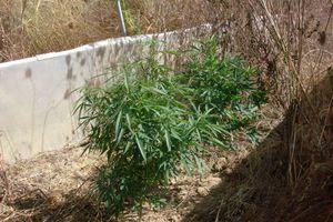 Καλλιεργούσαν ναρκωτικά σε θερμοκήπιο του Πύργου