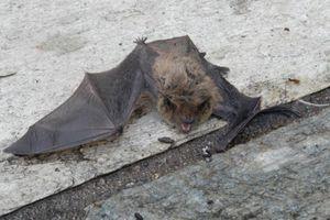 Συναγερμός στην Αμαλιάδα από νυχτερίδα που δάγκωσε 60χρονο