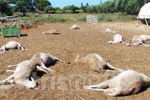 Δηλητηρίασαν κοπάδι πρόβατα στην Ηλεία