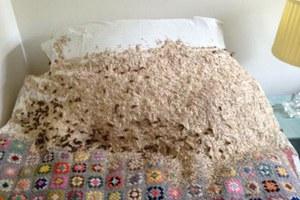 Σφήκες «έστρωσαν» μια τεράστια φωλιά πάνω σε κρεβάτι
