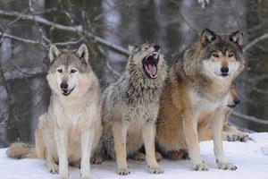 Και οι λύκοι έχουν αισθήματα