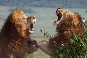 Λαθροκυνηγός σκοτώθηκε από ελέφαντα και φαγώθηκε από λιοντάρια