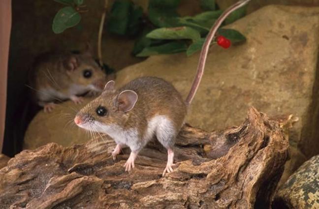 Ποντίκι των δασών