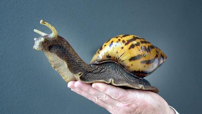 Αφρικανικό γιγαντιαίο σαλιγκάρι