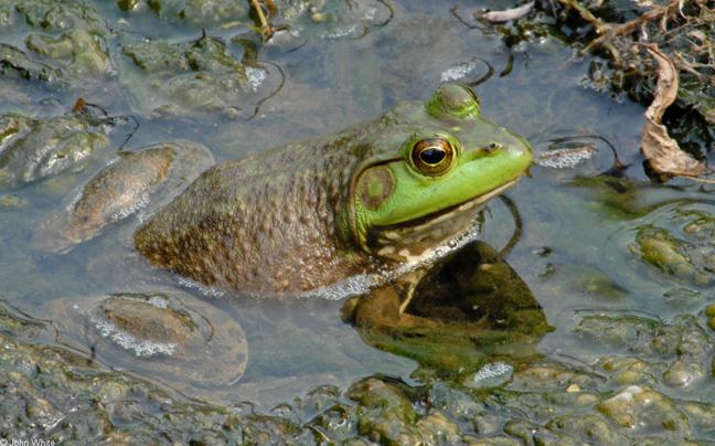 Αμερικανικός βάτραχος